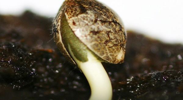Aprende a germinar tus semillas de marihuana