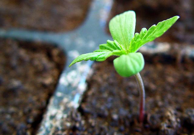 cultivo de marihuana en verano