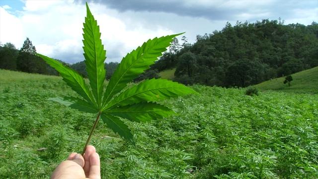 mosca negra en la marihuana