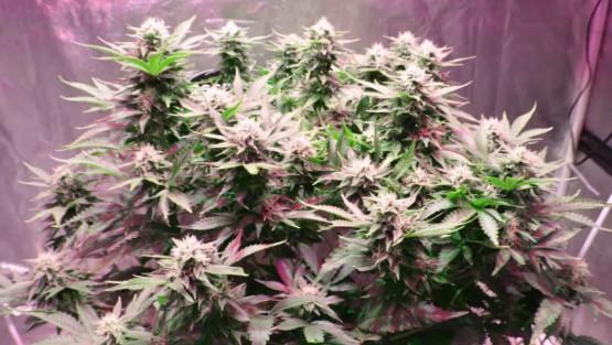Cultivo de Marihuana en Invierno